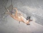 Dog Poisoning Koh Phangan