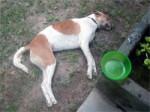 Dog Poisoning Koh Phangan Island