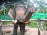 Elephant Trekking Safari in Chaloklum village on Koh Phangan Island