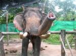 ElephantTrekkingKohPhangan-03
