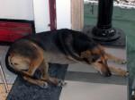 Koh Phangan Ferry Dog