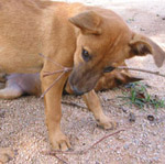 Koh Phangan Puppies need help urgently!