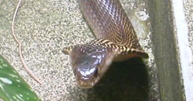 Koh-Phangan-Cobra-Snake-3359