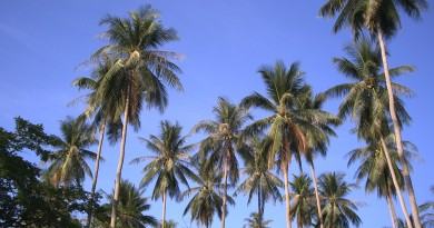 Palm-Trees-0373