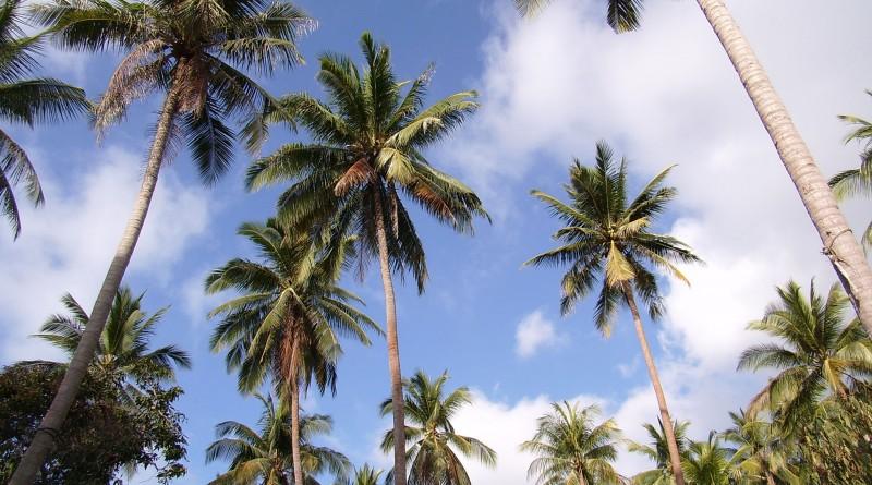 Palm-trees-SA558488