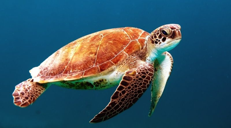 Dead sea turtle found on Koh Phangan island died from eating nylon rope