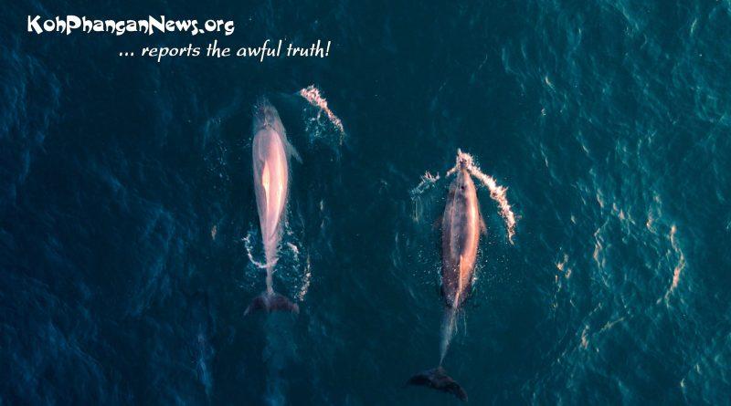 Pink Dolphin Koh Phangan
