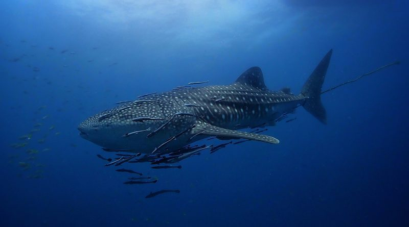 Whale Shark Sail Rock Koh Phangan