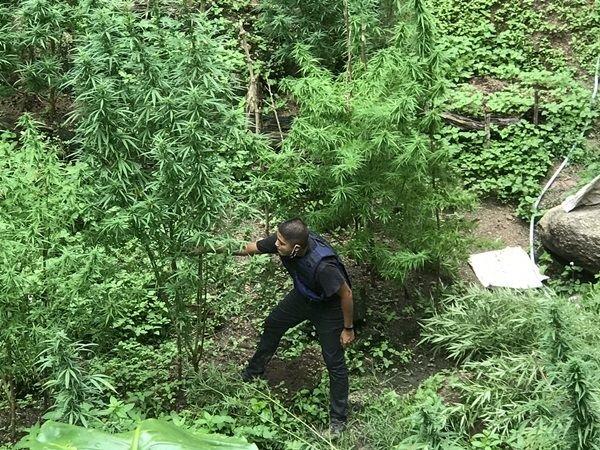 Police raid marijuana farm Koh Phangan
