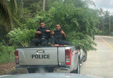 Police raid Marijuana Farm on Koh Phangan
