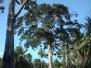 Big Tree Koh Phangan