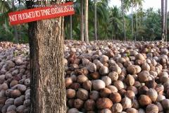 Coconuts Koh Phangan