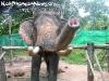 ElephantTrekkingPhangan-06
