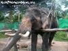 ElephantTrekkingPhangan-07