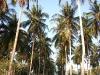PalmTreesPhangan-32